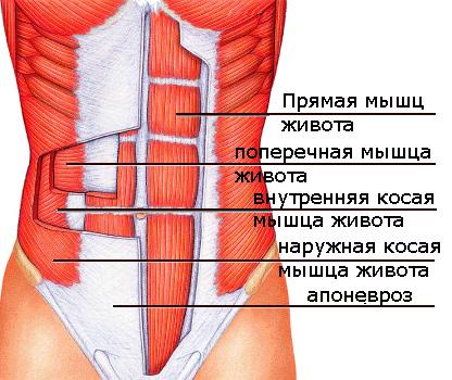 Анатомическое строение мышц живота