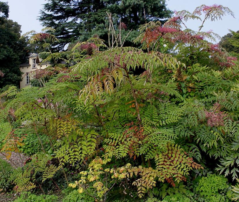 Аралия маньчжурская в ботаническом саду