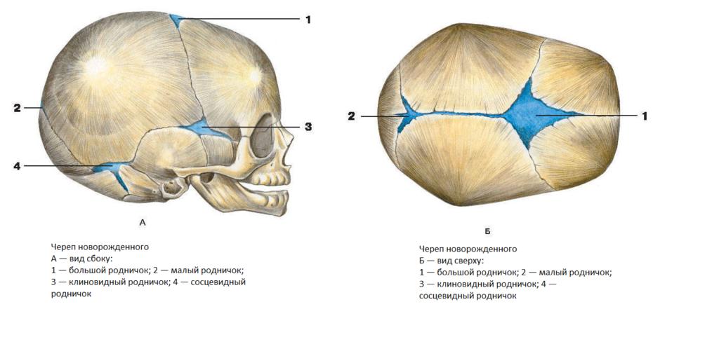 вид черепа новорожденного