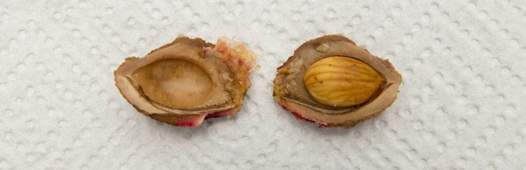 Ядро персика