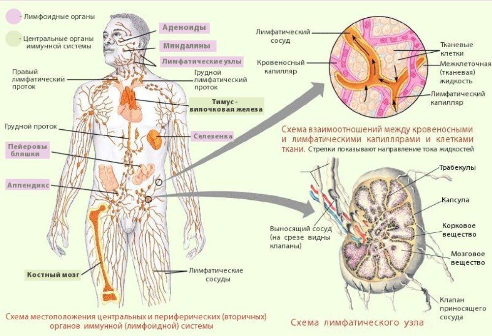 лимфосистема