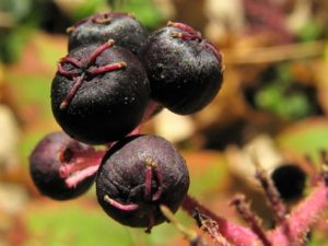 Плод аралии
