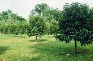 Дерево Мангустин